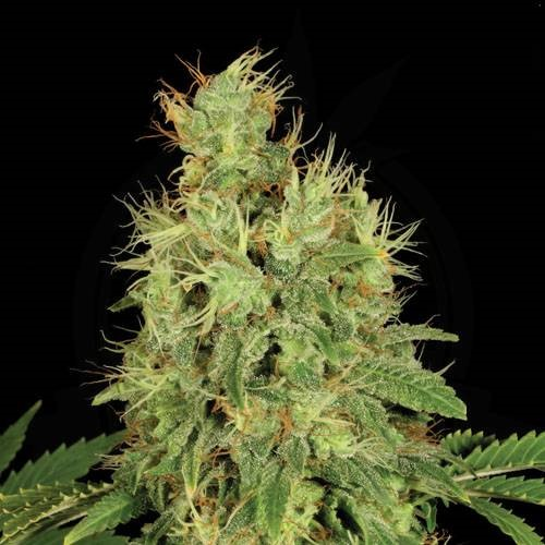 Chronic_Hanfsteckling_Serious_Seeds